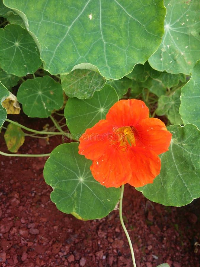 A videira vermelha de LilyPad da flor fora jardina gramado da jarda tropical fotos de stock