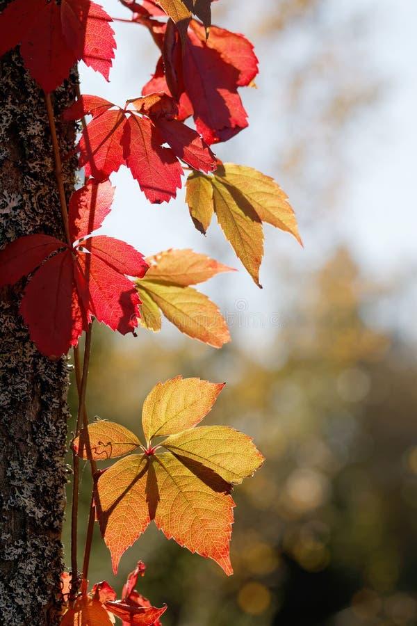 Videira virgem com as folhas vermelhas no upp de escalada do luminoso uma árvore fotos de stock