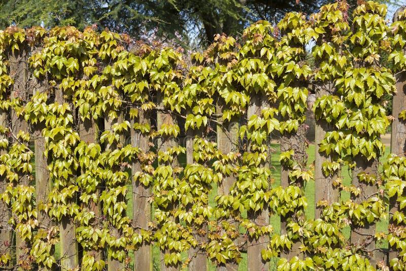 Videira virgem que escala sobre uma mostra de madeira da cerca na primavera fotos de stock royalty free