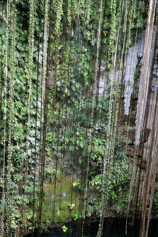 Videiras de suspensão de Cenote foto de stock