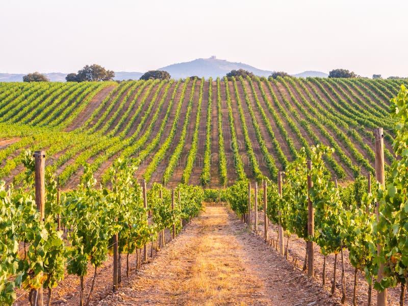 Videiras em um vinhedo na região do Alentejo, Portugal, no por do sol fotografia de stock royalty free