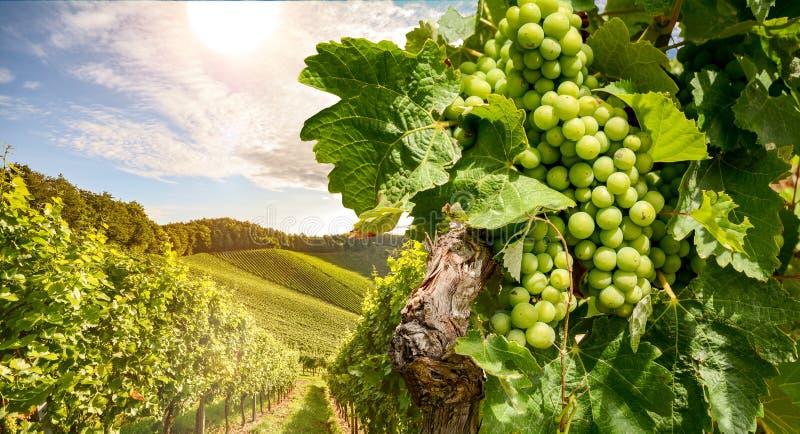 Videiras em um vinhedo perto de uma adega no sol da noite, uvas para vinho brancas antes da colheita fotografia de stock royalty free