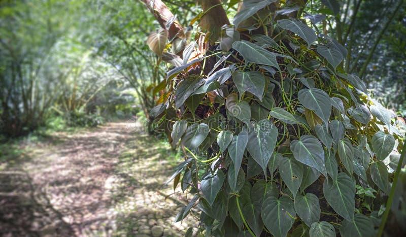 Videiras no tronco de árvore com elefante Fern Canopy do borrão no fundo Os micans do Philodendron ou do Philodendron da folha de imagem de stock royalty free