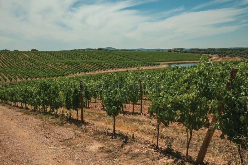 Videiras paralelas que vão acima o monte em um vinhedo perto de Estremoz fotografia de stock royalty free