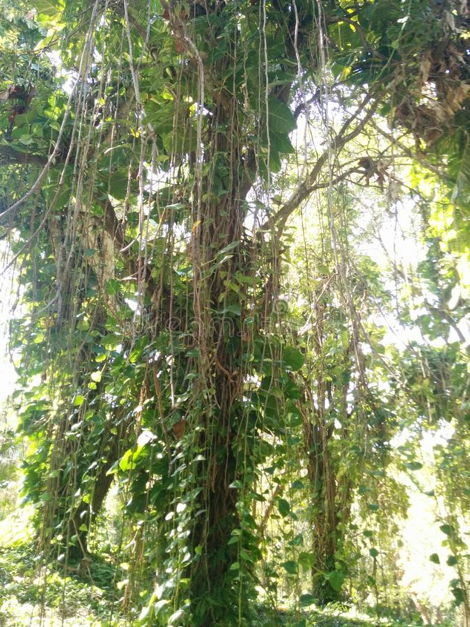Videiras que penduram de uma árvore da selva fotos de stock royalty free