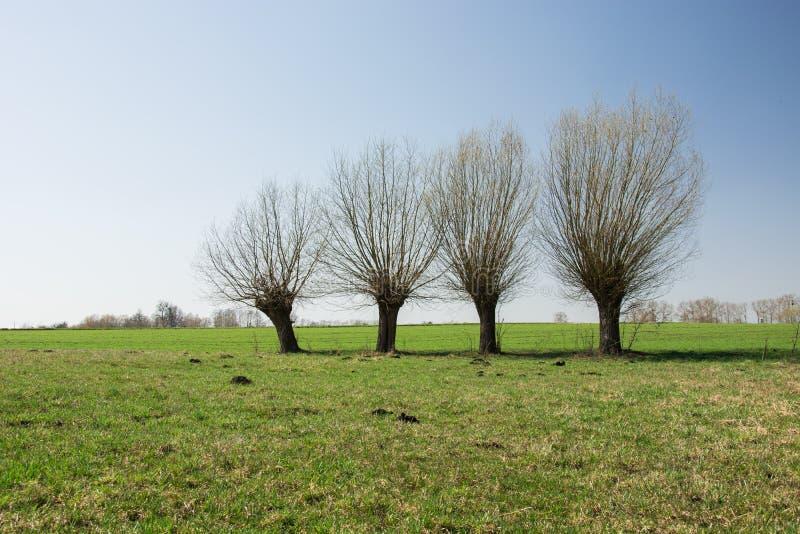 Viden som i rad växer på en grön äng, horisont och himmel arkivfoton