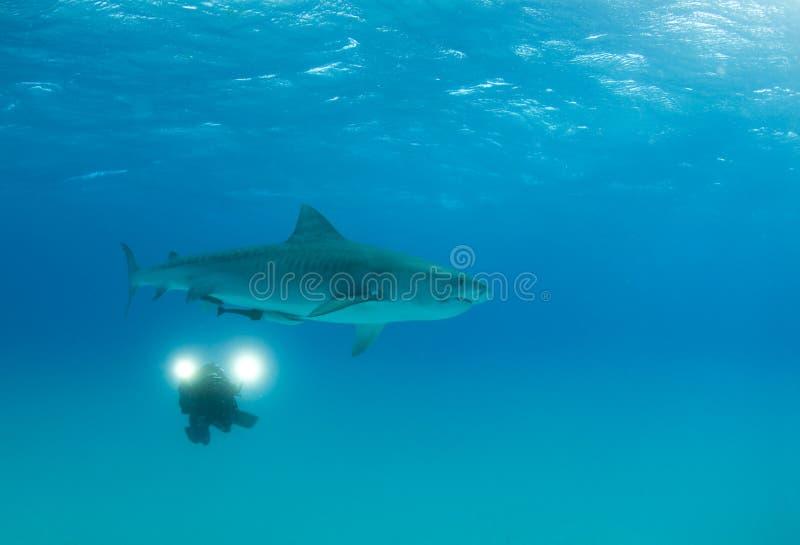 Videographer con el tiburón de tigre fotos de archivo