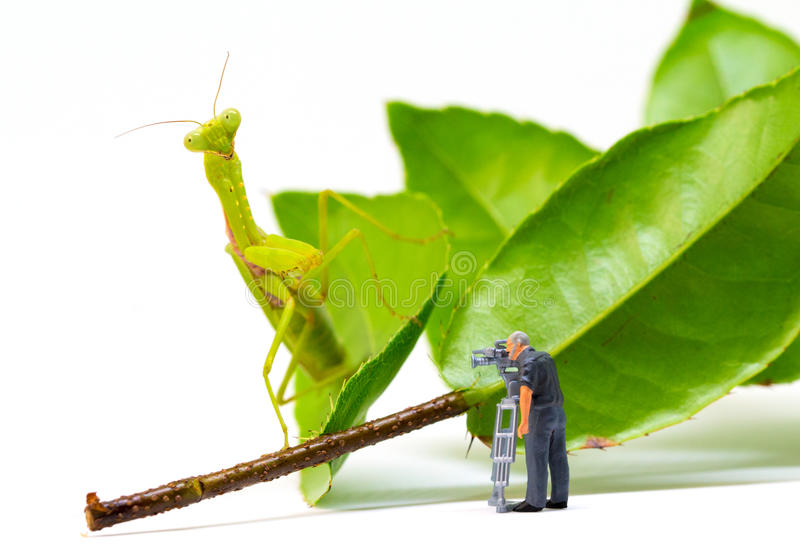 Videographer and green mantis. Videographer work in process. Exotic insect Mantis hunting tiny puppet. stock image
