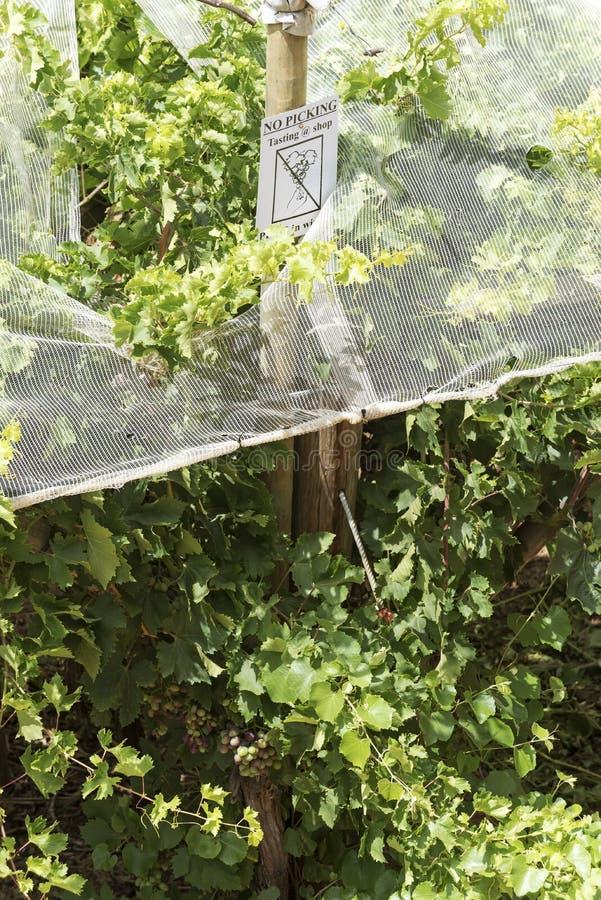 Vides bajo redes plásticas para la protección Viñedo famoso de Kanonkop cerca de las montañas pintorescas en el resorte fotos de archivo libres de regalías
