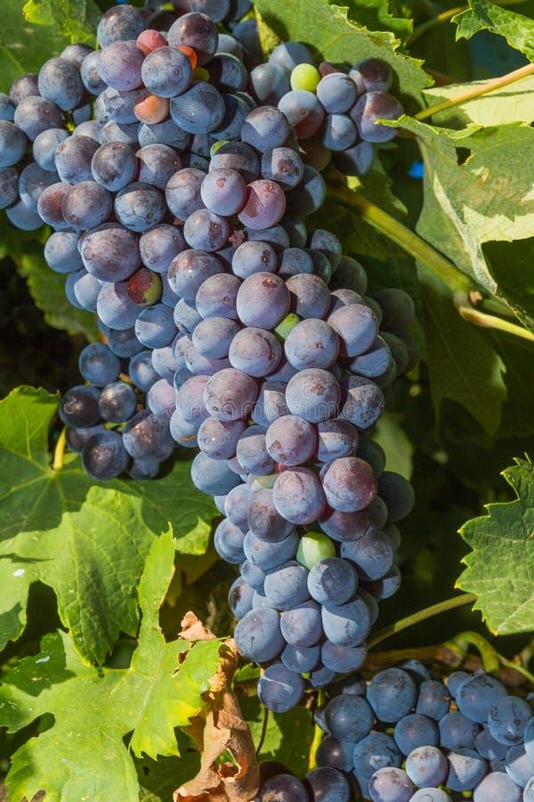 Vides con las uvas de vino rojo maduras jugosas imagenes de archivo