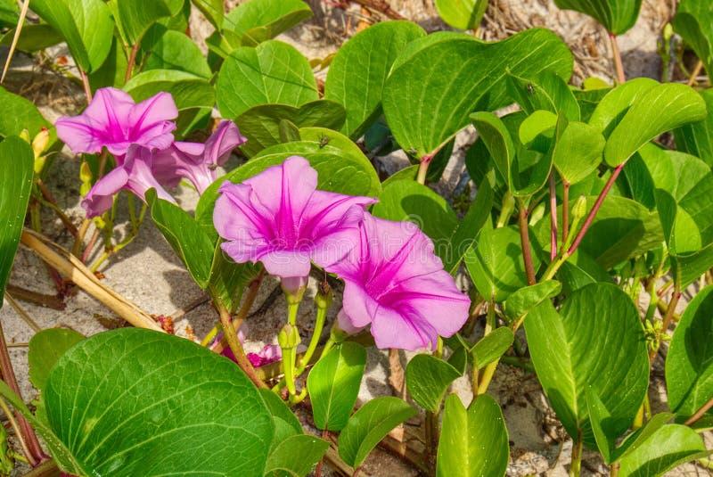 Vides de ferrocarril en la floración, aka la mañana Glory Closeup de la playa fotos de archivo libres de regalías
