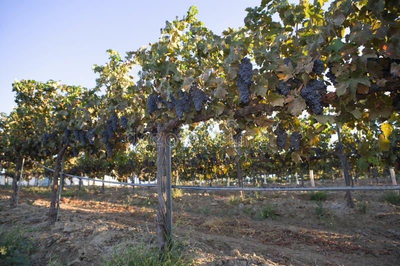 Vides de uva en un poste de la cerca de alambre imagen de archivo