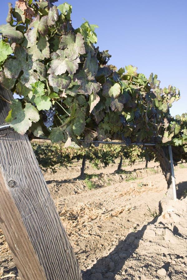 Vides de uva en una cerca de alambre fotografía de archivo