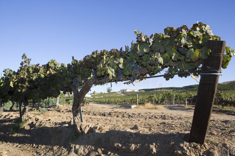Vides de uva en una cerca de alambre imagen de archivo