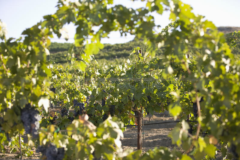 Vides de uva en viñedo imagen de archivo