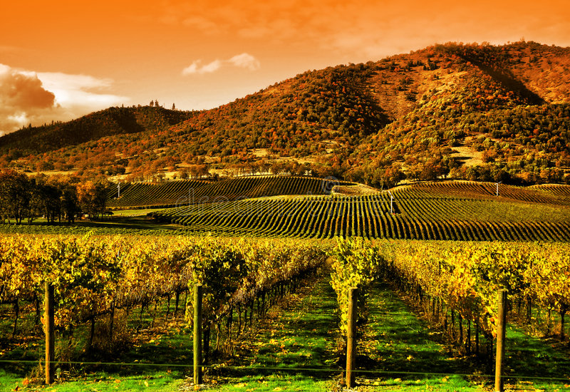 Vides de uva en viñedo en la puesta del sol imagen de archivo