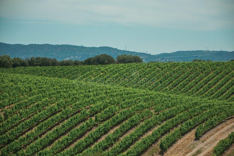 Vides encima de la colina en un viñedo cerca de Estremoz fotografía de archivo