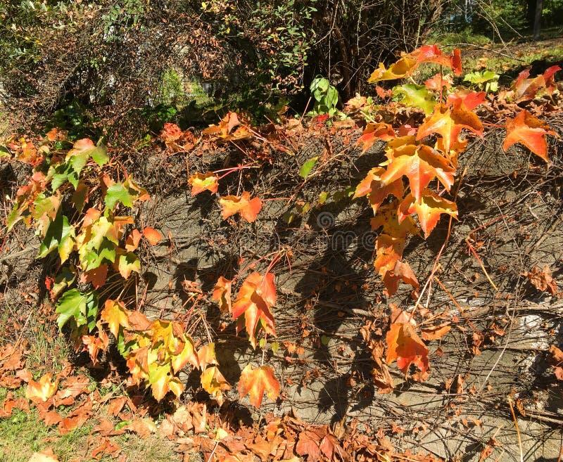 Vides preciosas del otoño en la cerca de madera en Massachusetts imágenes de archivo libres de regalías