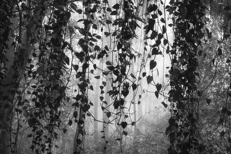 Vides que cuelgan en la selva de niebla blanco y negro imagenes de archivo