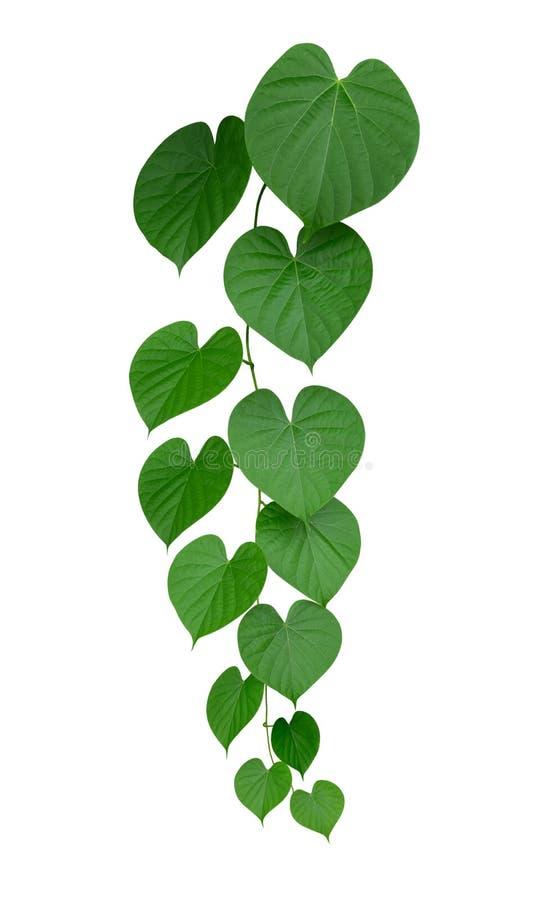 Vides verdes en forma de corazón de la hoja aisladas en el fondo blanco, trayectoria fotografía de archivo