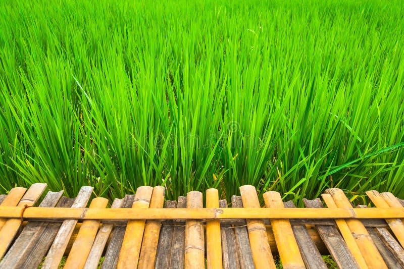 Videz la planche en bois sur les gisements verts de riz avec le champ frais photos stock