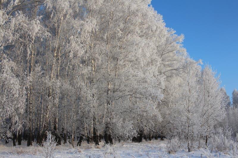 Vidoeiro coberto de neve de Sibéria do inverno do russo em um campo vazio imagens de stock royalty free