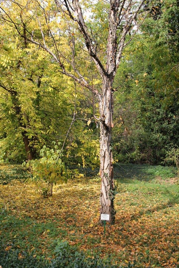 Vidoeiro - davurica da bétula - jardim botânico Macea, Arad County - Romênia imagens de stock