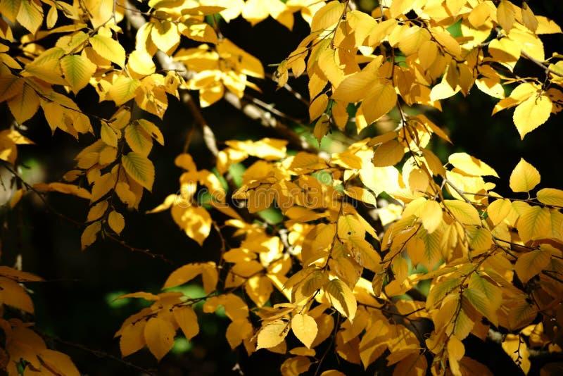 Vidoeiro doce de folhas de outono imagem de stock