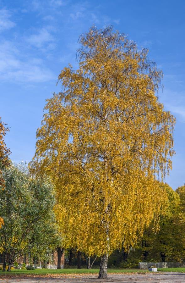 Vidoeiro dourado no parque outonal foto de stock royalty free