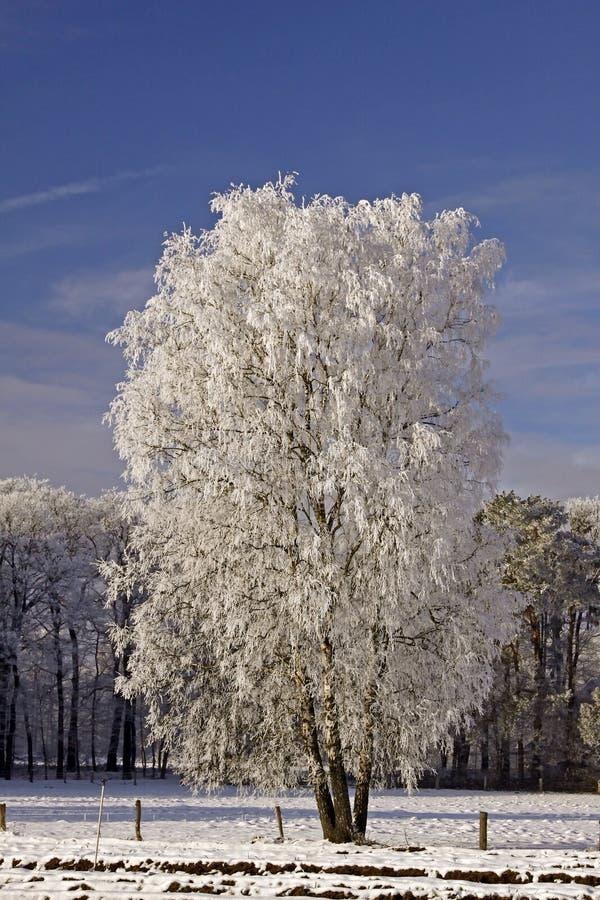 Vidoeiro em um campo no inverno fotografia de stock