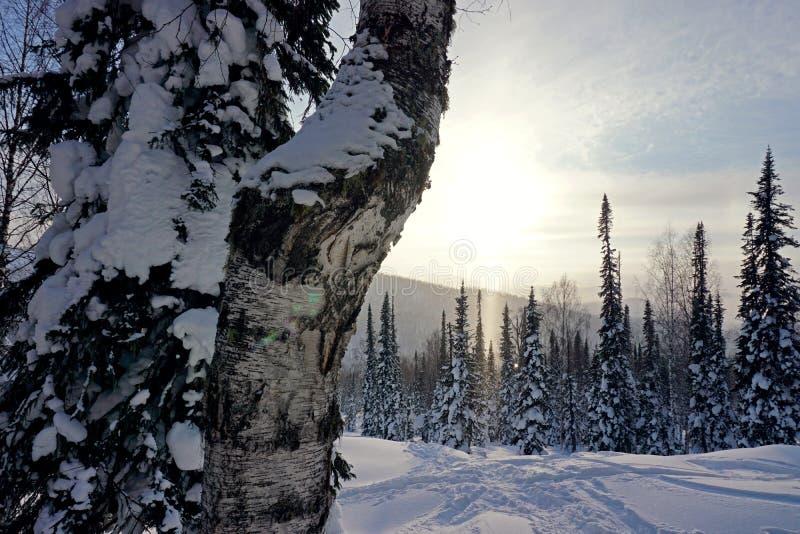 Vidoeiro no inverno no taiga Raio nevado da floresta e do sol nas montanhas imagem de stock
