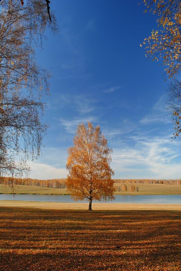 Vidoeiro só dourado do outono imagens de stock