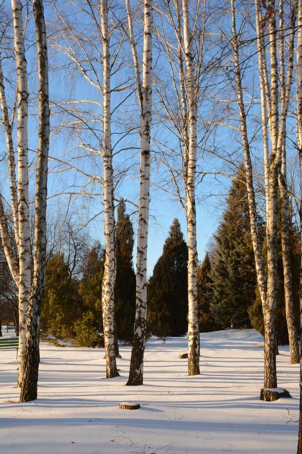 Vidoeiros desencapados bonitos no inverno e abeto no fundo fotos de stock royalty free
