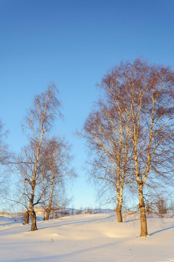 Vidoeiros desencapados no monte no tempo de inverno imagens de stock royalty free
