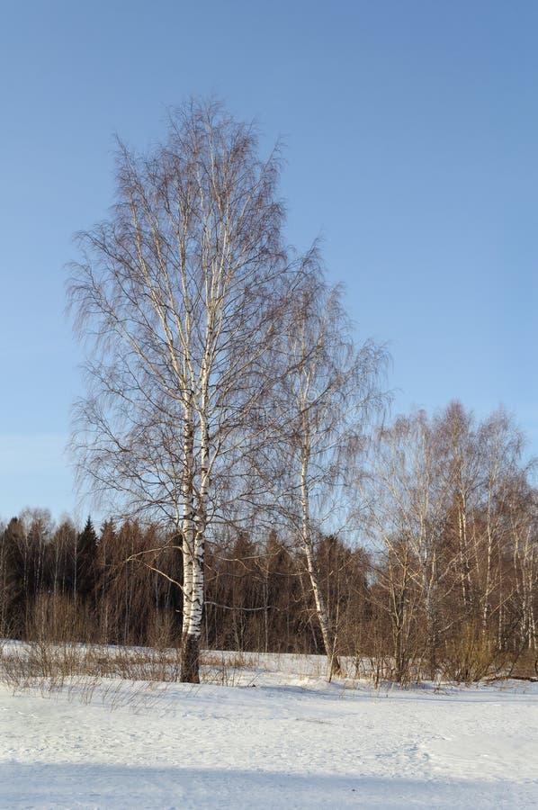 Vidoeiros desencapados no tempo de inverno fotografia de stock royalty free