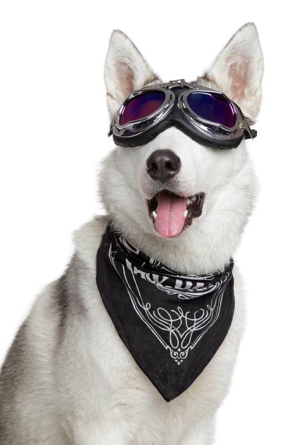 Perro del husky siberiano en un fondo blanco imágenes de archivo libres de regalías