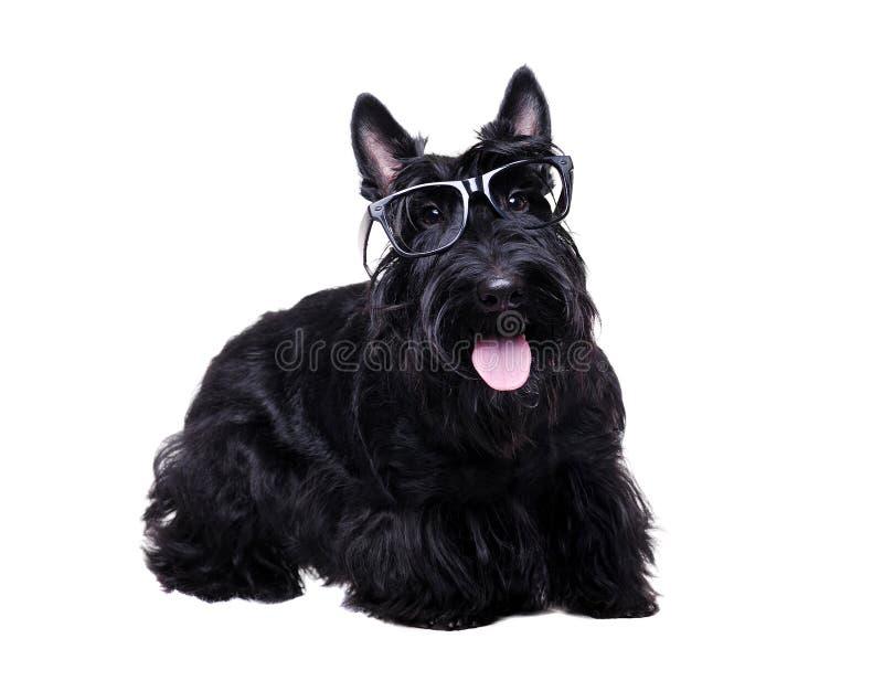 Vidrios que llevan negros del terrier escocés foto de archivo