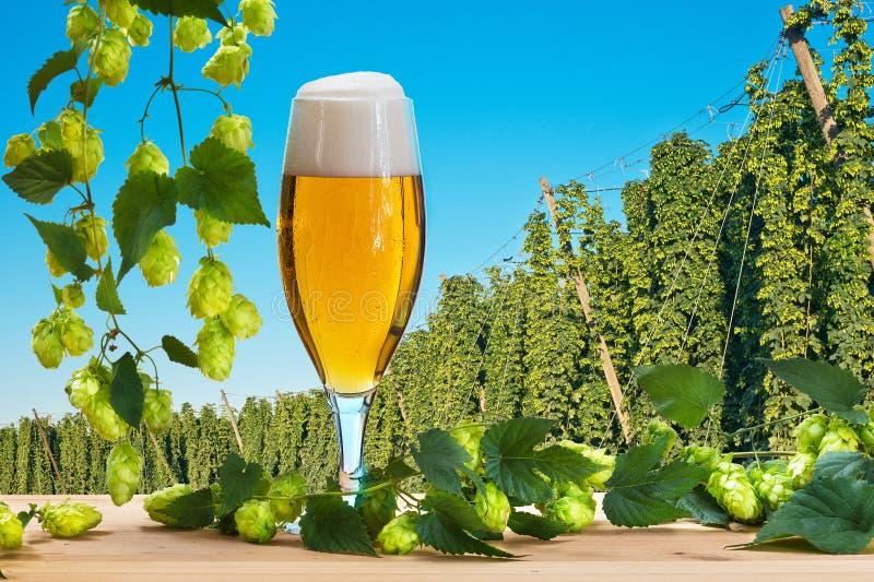 Vidro de cerveja antes da colheita dos lúpulos fotografia de stock