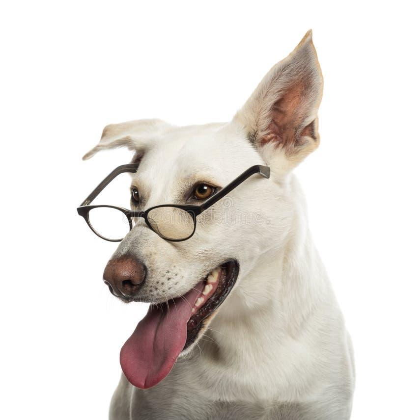 Vidros desgastando do cão do híbrido imagem de stock