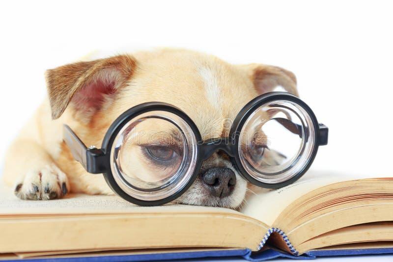 Vidros do lerdo do desgaste do cão fotos de stock royalty free