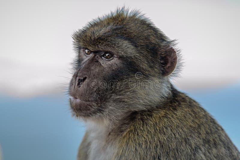 Vie dans le macaque anglais du Gibraltar photo libre de droits