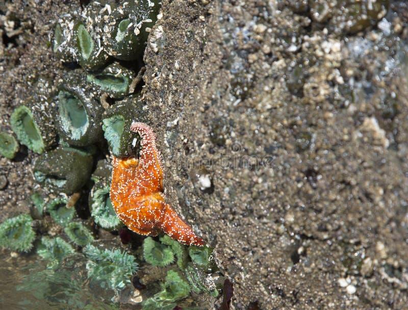 Vie marine colorée de zone intertidale chez Ruby Beach photographie stock