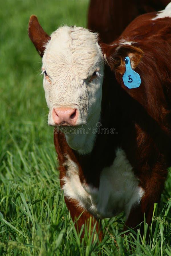 Vieh 16 stockfotos