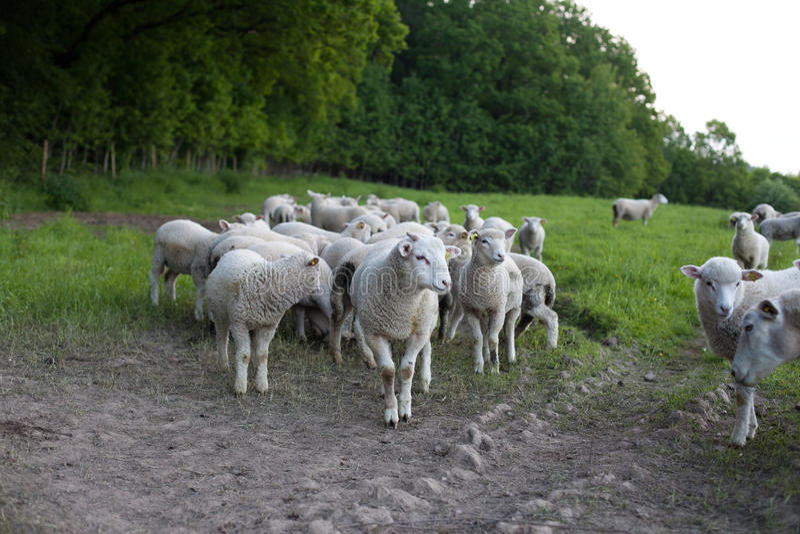 Vieh lizenzfreie stockbilder