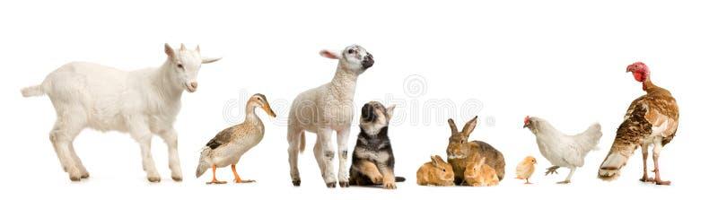 Vieh lizenzfreie stockfotografie