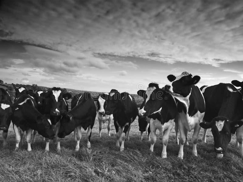 Vieh Stockfotografie