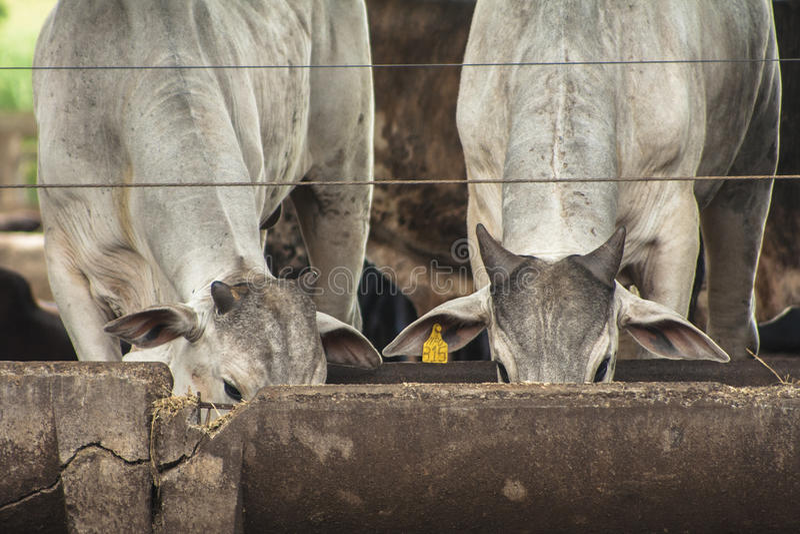 Download Vieh redaktionelles foto. Bild von brasilien, tier, zentral - 47100526