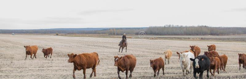 Vieh-Antrieb stockfotos