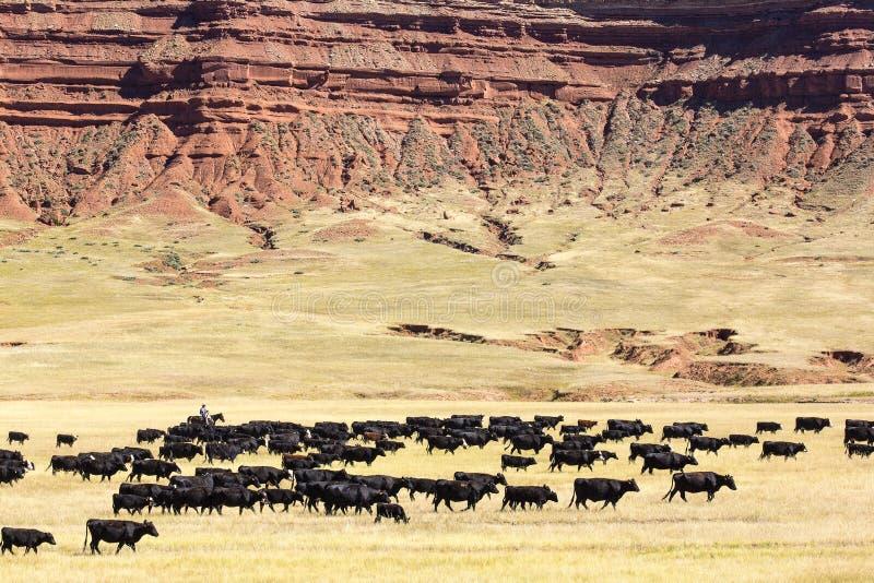 Vieh-Antrieb stockbilder
