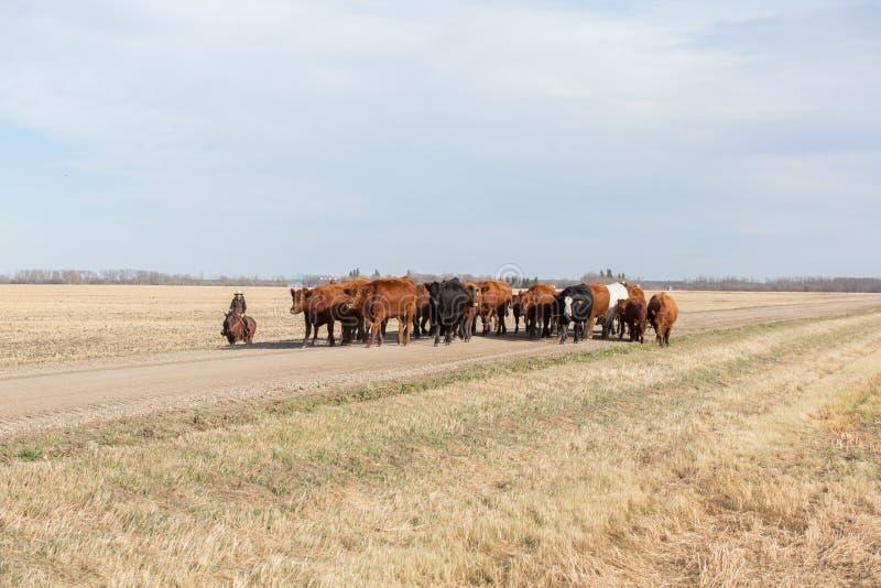 Vieh-Antrieb auf dem Grasland stockfotos